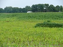 Nielsen crops