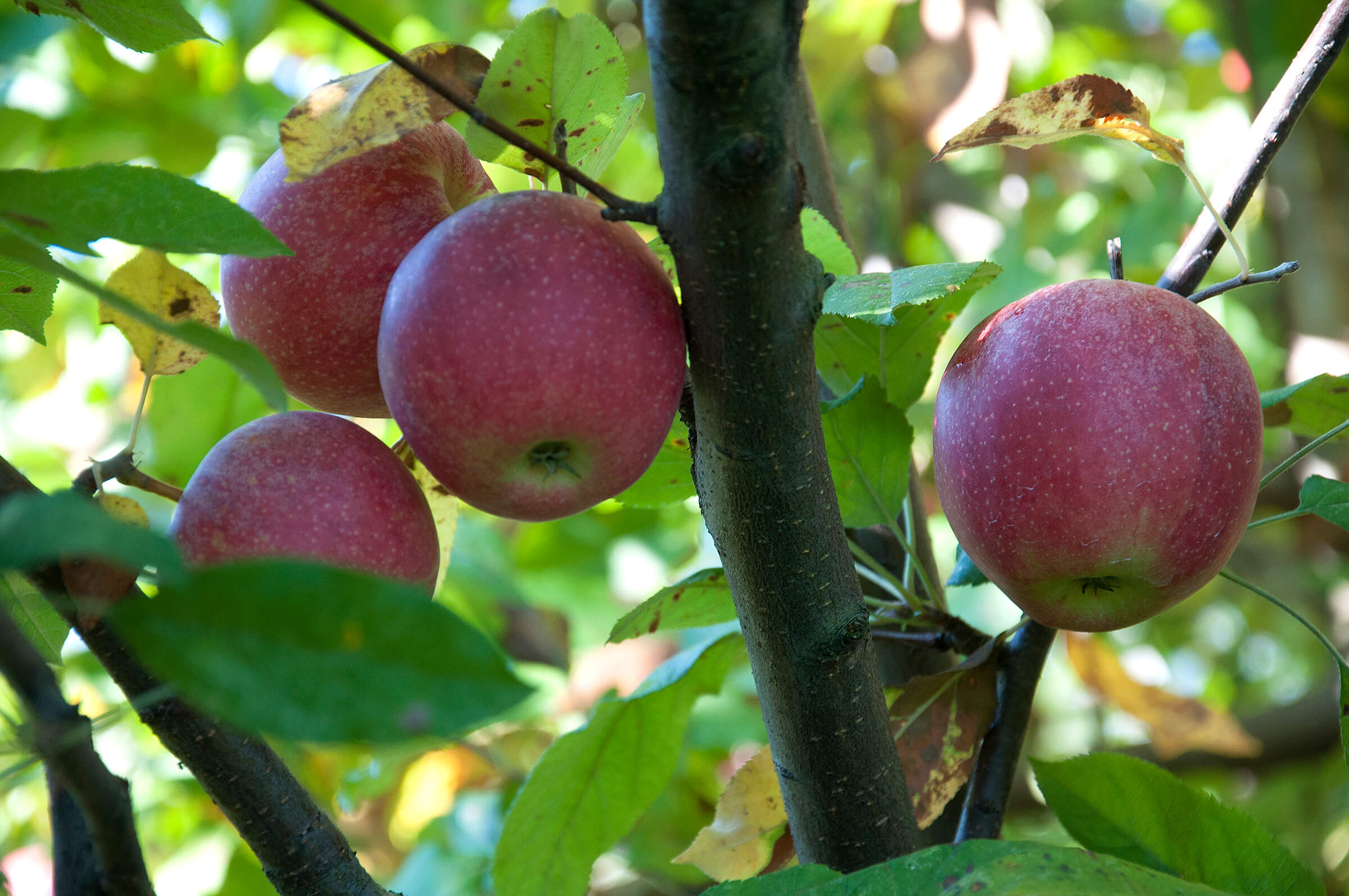 Apple trees bear more fruit when surrounded by good ...