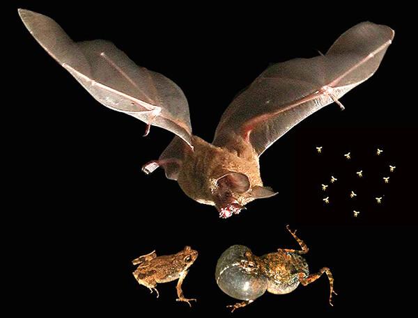 Bernal bats
