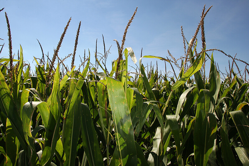 Corn_landscape