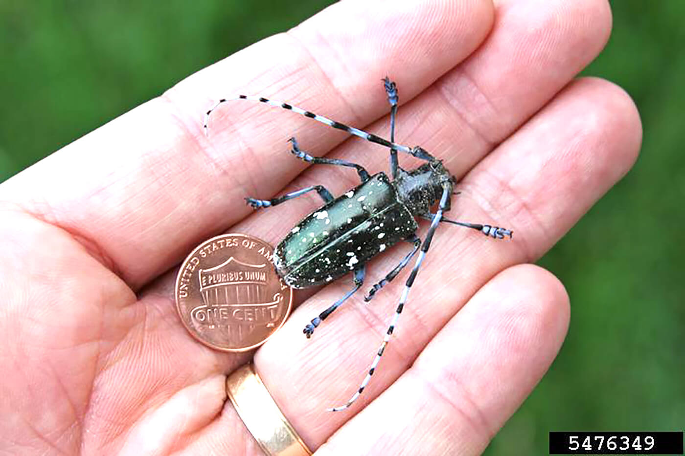 destructive pests  check your trees for asian long-horned beetles