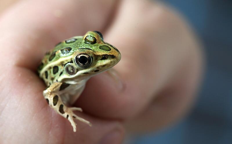 Sepulveda frog