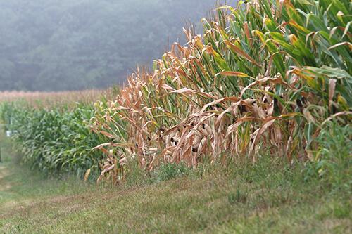 Temple corn