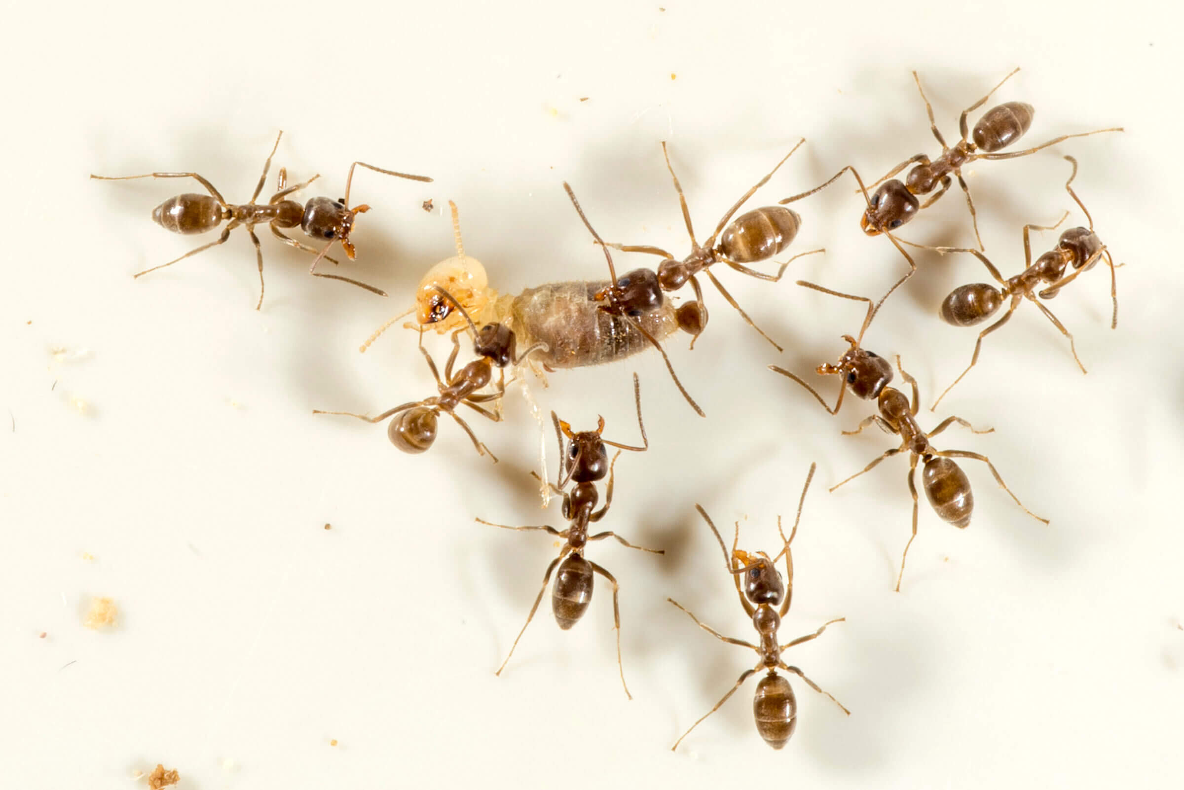 Death By Termite Purdue Entomologist Uses Natural Cravings To Control Invasive Ants Purdue University News