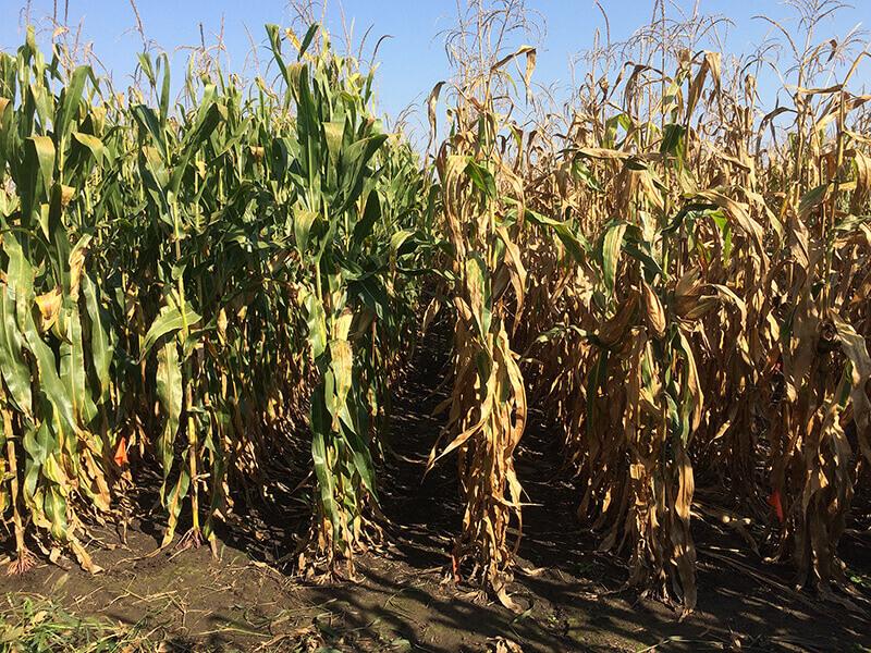 corn hybrid