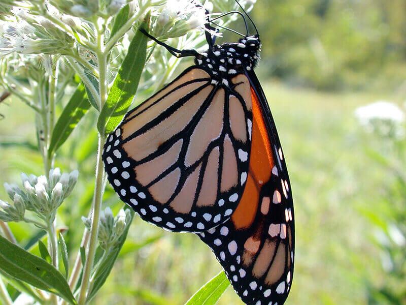Kaplan monarchs