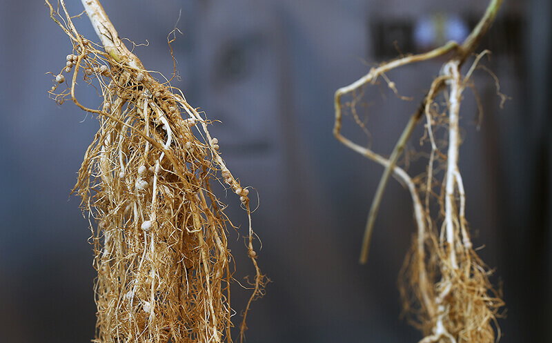 soybean-roots