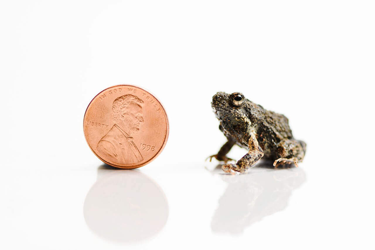 The túngara frog is about the size of a penny in the comparison shot