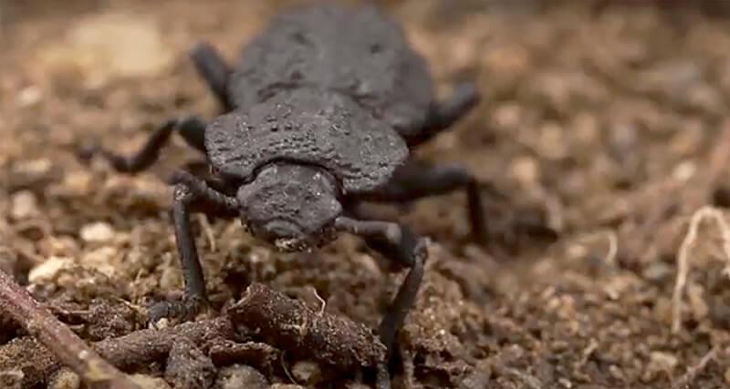zavattieri-beetle