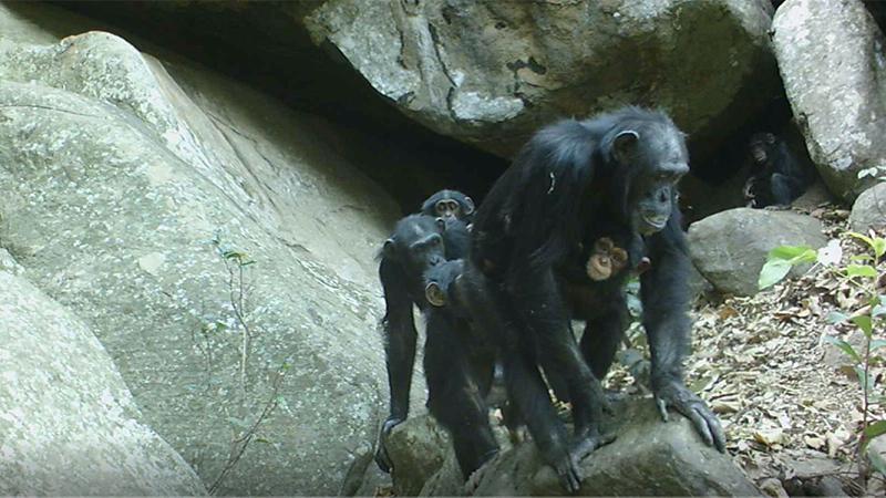 chimpanzees-cave