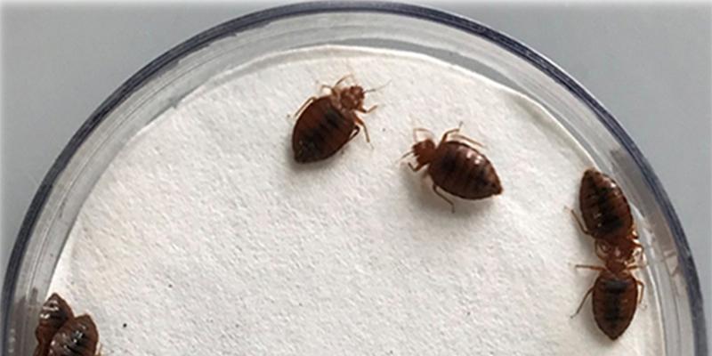 gondhalekar-bedbugs