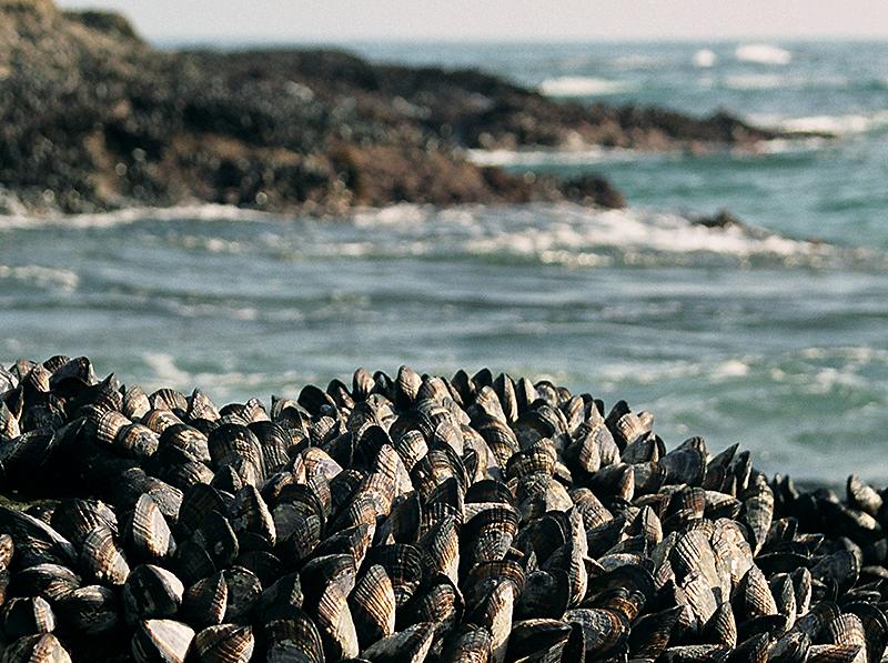 wilker-mussels