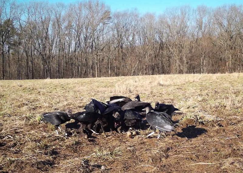 zollner-vultures